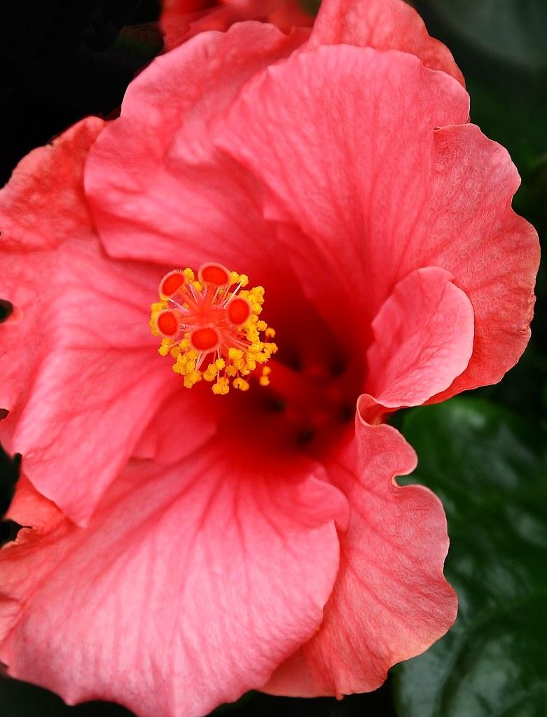 Fiori Hibiscus.Hibiscus Fiori Grande Roy Lomas Flickr