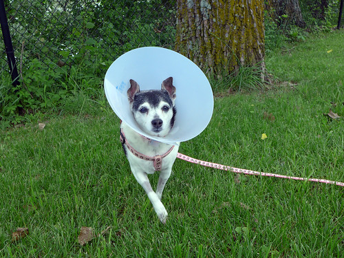 2015-05-25 - Mags in the Cone of Shame - 0011 [flickr]