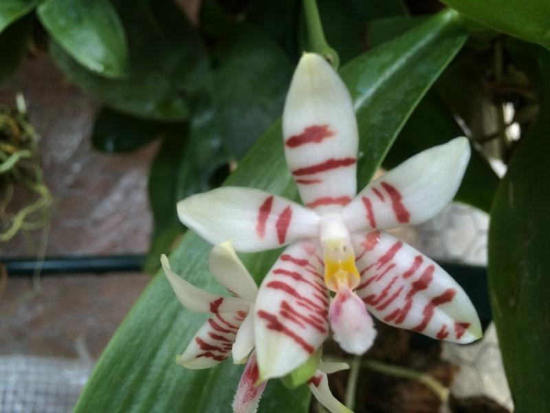 Phalaenopsis Tetrasambo (2015) 17481383735_9c379dc337_o