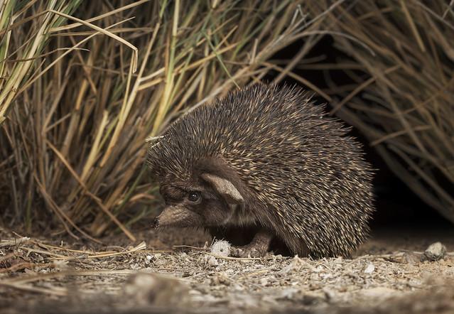 Desert hedgehog (Paraechinus aethiopicus)