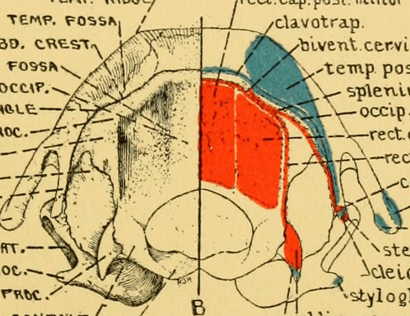 Image From Page 140 Of Anatomy Of The Wood Rat Comparati Flickr