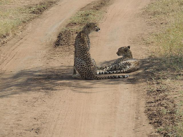 Tanzania Safari, Cheetahs