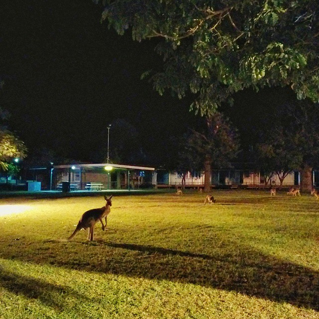 Queensland is experiencing a drought now, so the roos are coming into town to look for some tucker.