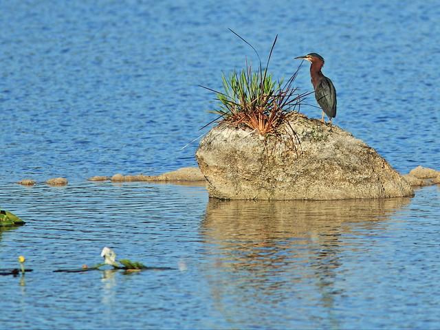 Green Heron 20150529