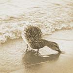 Forager Duck - Monochrome