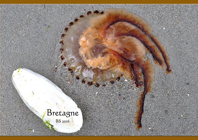 Bretagne 2016 ... Spaziergänge bei Ebbe ... Fundstücke und Entdeckungen am Strand ... Sand, Pflanzen, Tiere ... Foto: Brigitte Stolle 2016