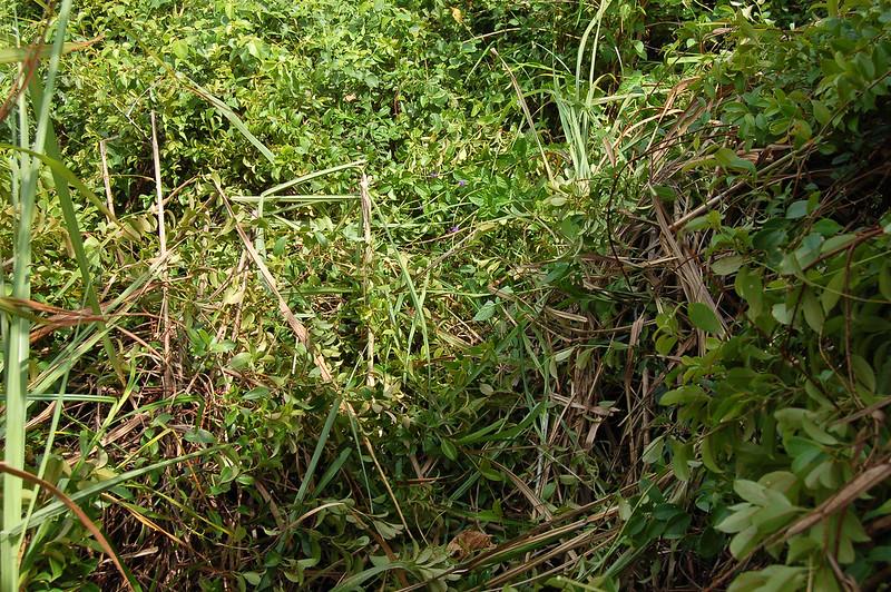 左鎮山圖根點被一片常綠藤本植物--酸藤覆蓋