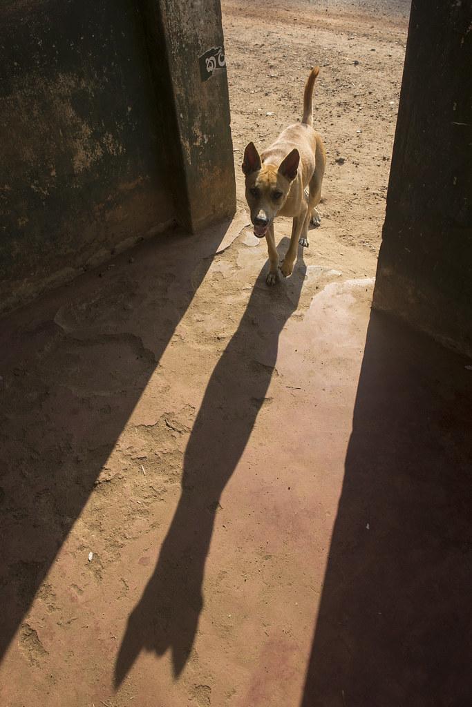 Dog Ears Back While Petting