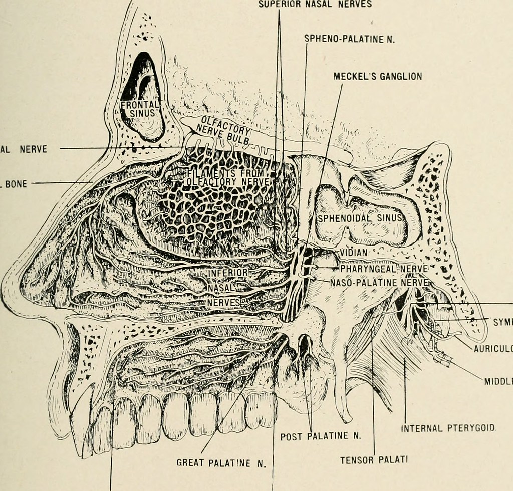 Image From Page 406 Of Anatomy In A Nutshell A Treatise Flickr