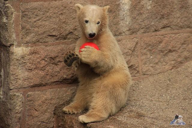 Eisbär Fiete im Zoo Rostock 24.05.2015 63