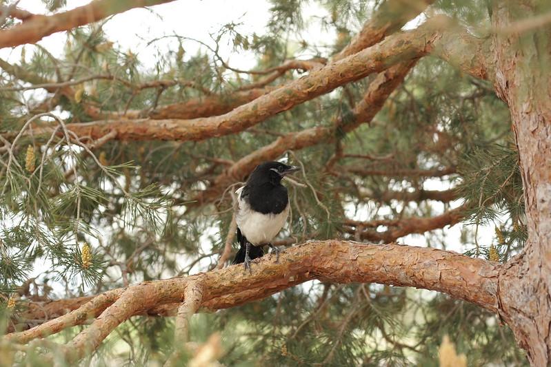 magpie fledgling