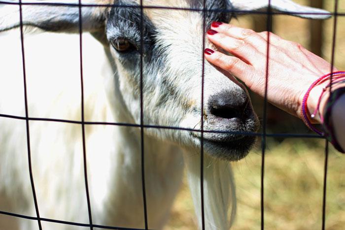 14_vergers-lafrance-animaux-ferme-chevre