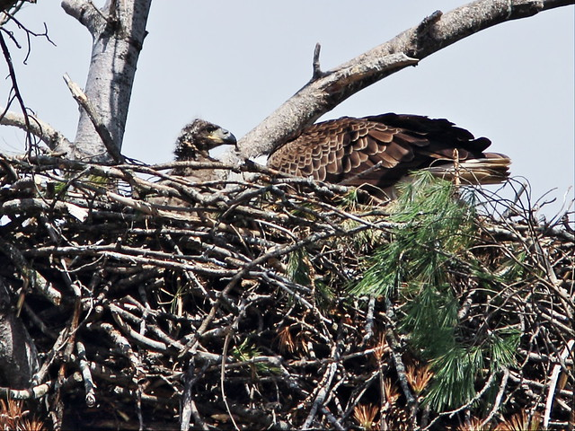 Bald Eagle feeding eaglet on nest 20150427