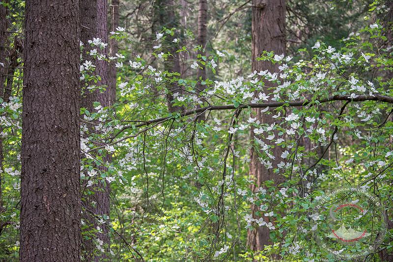 Yosemite Dogwoods.