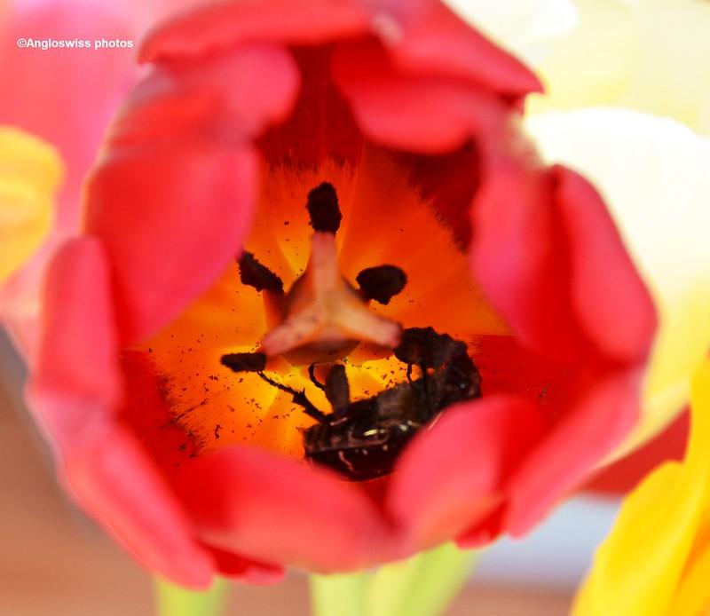 Rose Chafer inside tulip