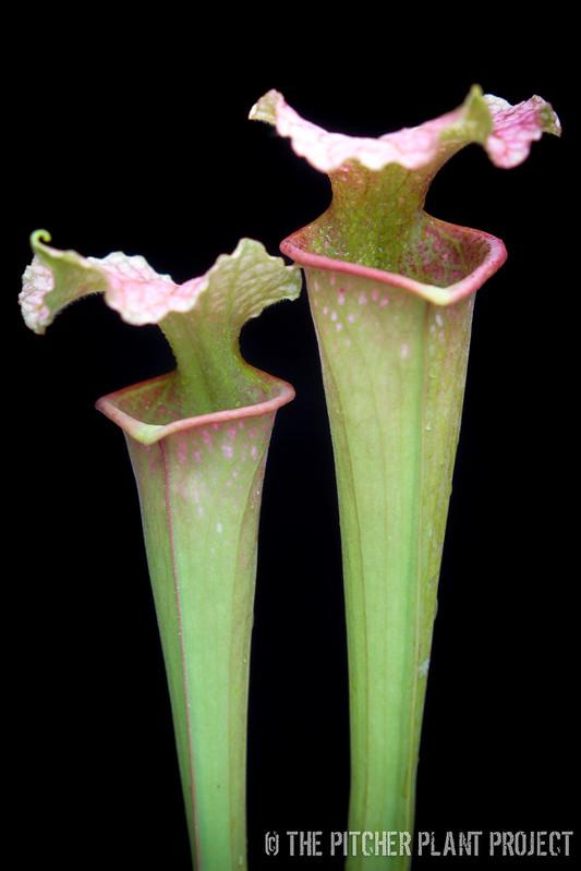 "Sarracenia leucophylla ""Burgundy"" x flava var. maxima"