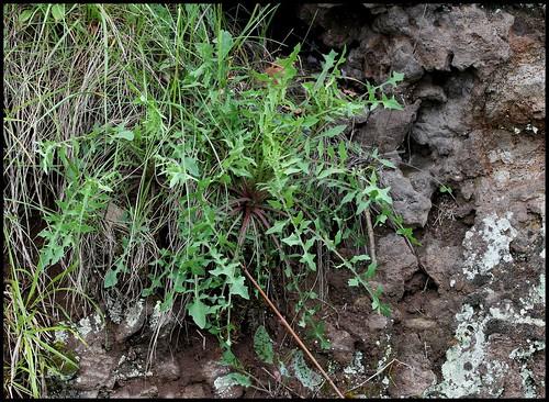 Lactuca perennis - laitue vivace 28502803536_8e07d2dca6