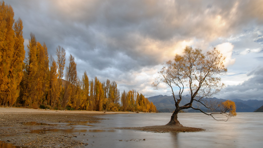 Windy Wanaka Willow in Autumn