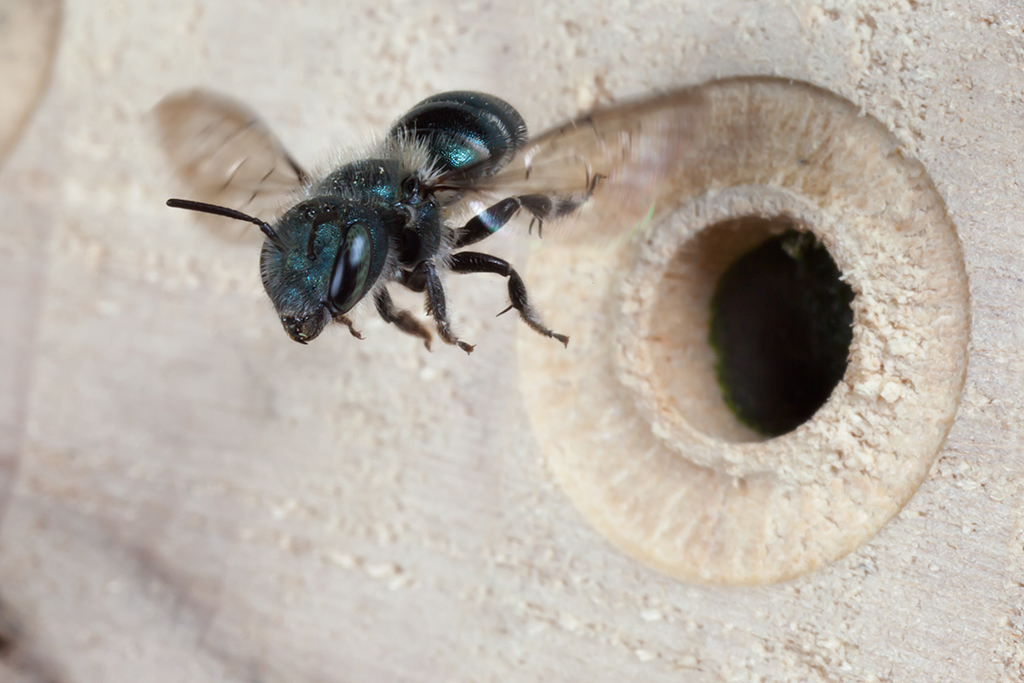 Blue Orchard Mason Bees Blue Orchard Mason Bee