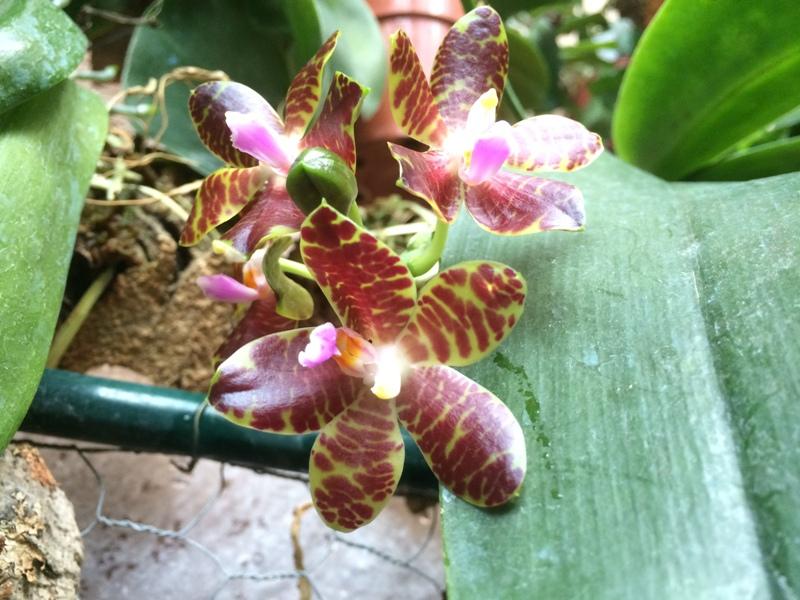 Phalaenopsis Jade Gold 17455373186_e75869f32b_o