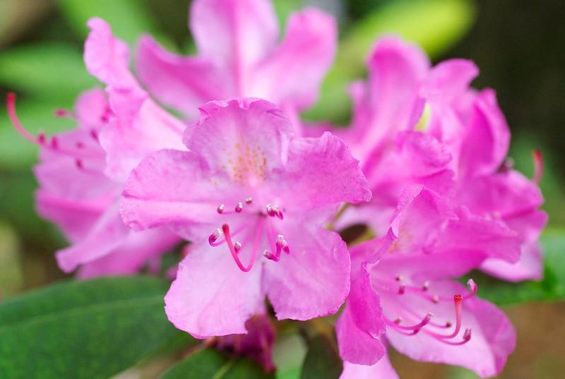 149/365. rhododendron ferrugineum.