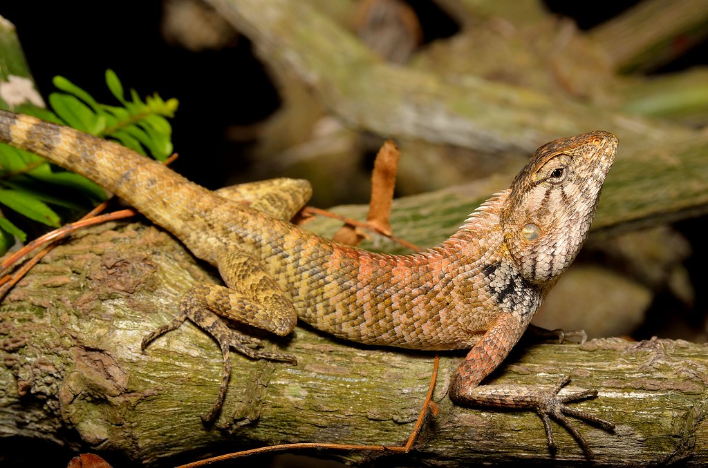 oriental garden lizard calotes versicolor by tropidechis2 - Garden Lizard