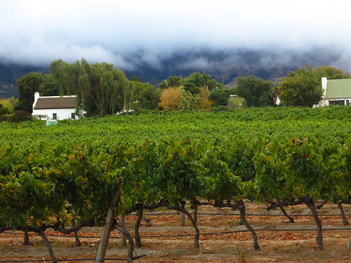 Lush and green vineyards in the heart of Franschhoek
