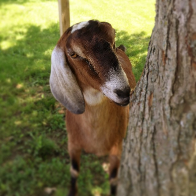 If everything goes smoothly, this is totes gonna be my goat! Gracie and Bea are twin sisters. 3-year-old Nubians. Their current owner is a retired guy who is scheduled for a few surgeries this year, so he's not up for goat shenanigans, even though he love