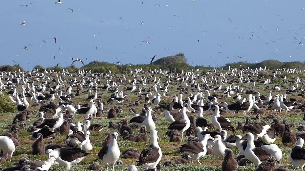 Midway Atoll - Bird Sightings