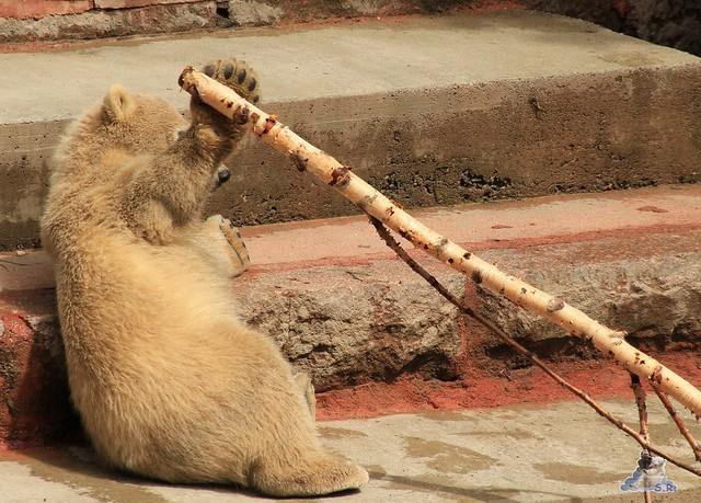 Eisbär Fiete im Zoo Rostock 23.05.2015 41