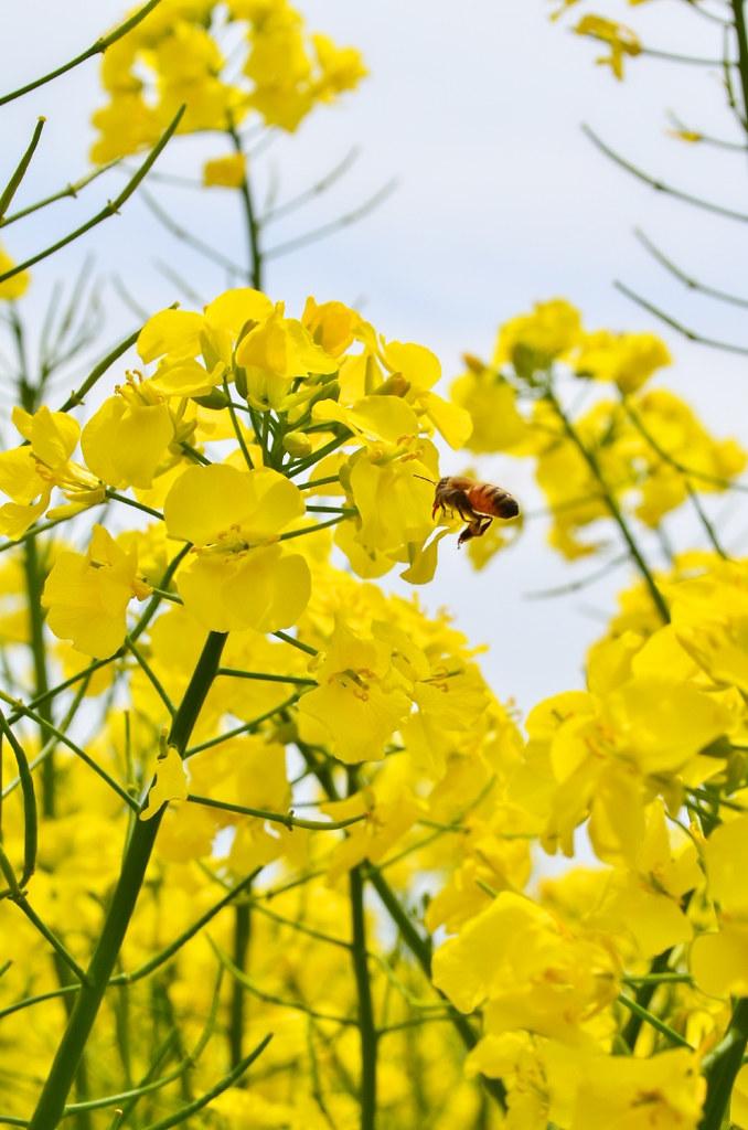 滝川菜の花まつり2015 (13)