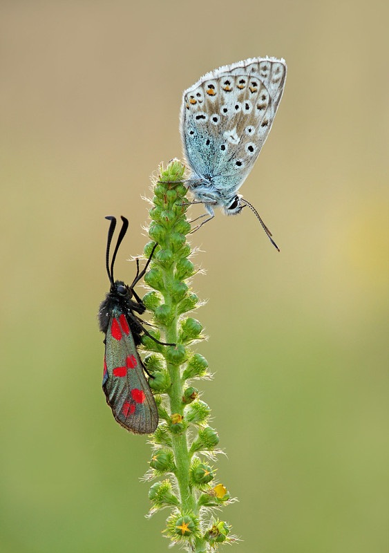 Common Blue and Six-spot Burnet moth