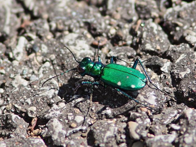 Six-spotted Tiger Beetle - Cicindela sexguttata 20150429