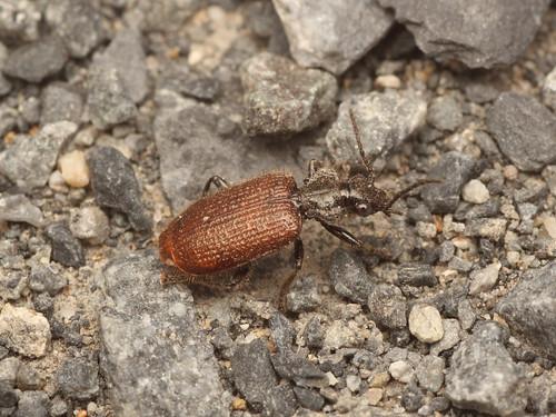 アリスアトキリゴミムシ