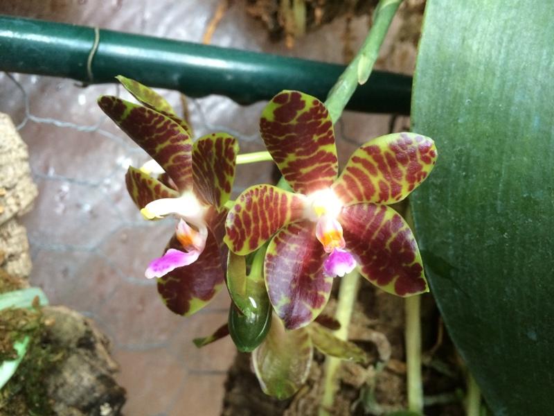 Phalaenopsis Jade Gold 17481400935_2832f25942_o