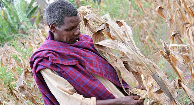 A farmer examines his maize crop (Photo credit: CIAT/Stephanie Malyon)