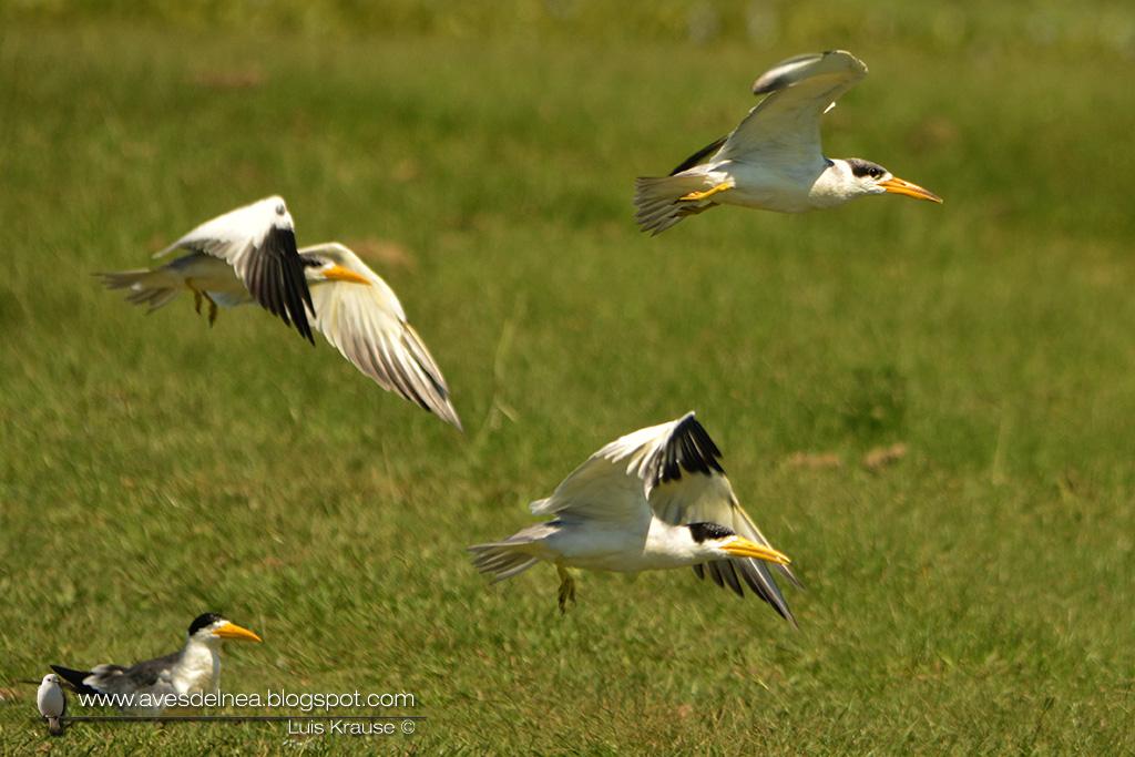 Atí (Large-billed Tern) Phaetusa simplex