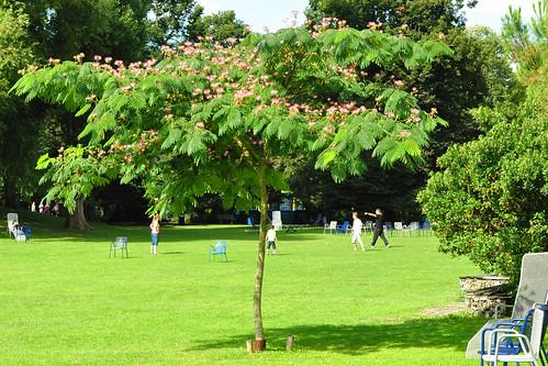 Seidenbaum (Albizia julibrissin) - Herzogenriedpark Mannheim - August 2016 - Foto: Brigitte Stolle