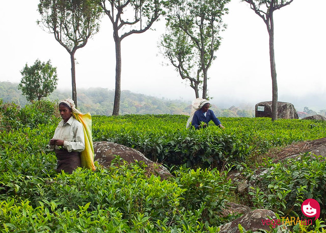 Haputale tea plantations, Sri Lanka