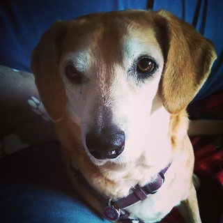 "Sophie says ""got treat?"" which translates into Good Morning IG. #dogstagram #muttstagram #rescuedog #houndmix #adoptdontshop #instadog #rescueddogsofinstagram"