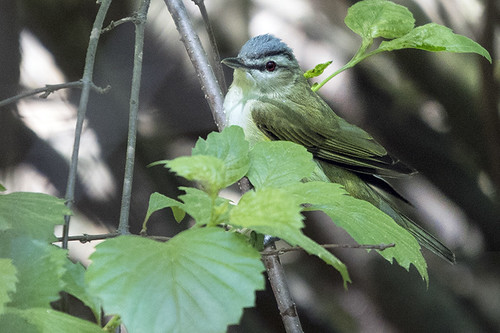 Forest Park: Red-eyed Vireo