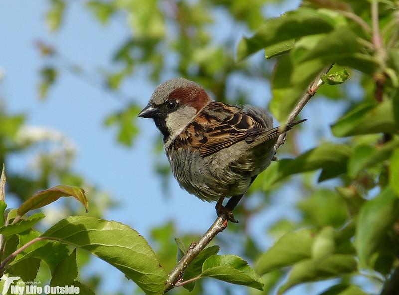 P1120774 - House Sparrow