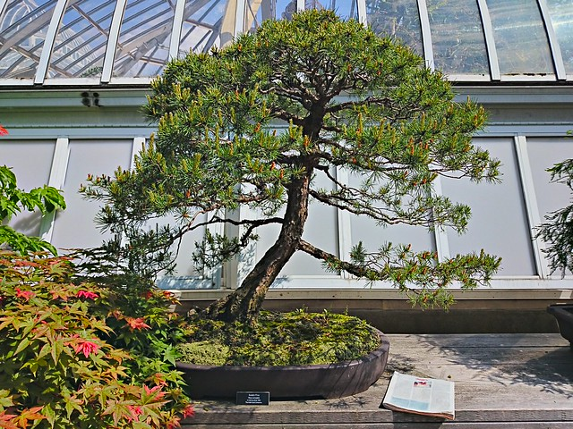 Phipps: bonsai since 1960