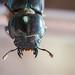 [台北 寵物攝影] 台灣扁鍬形蟲