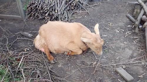 goats May 15 20