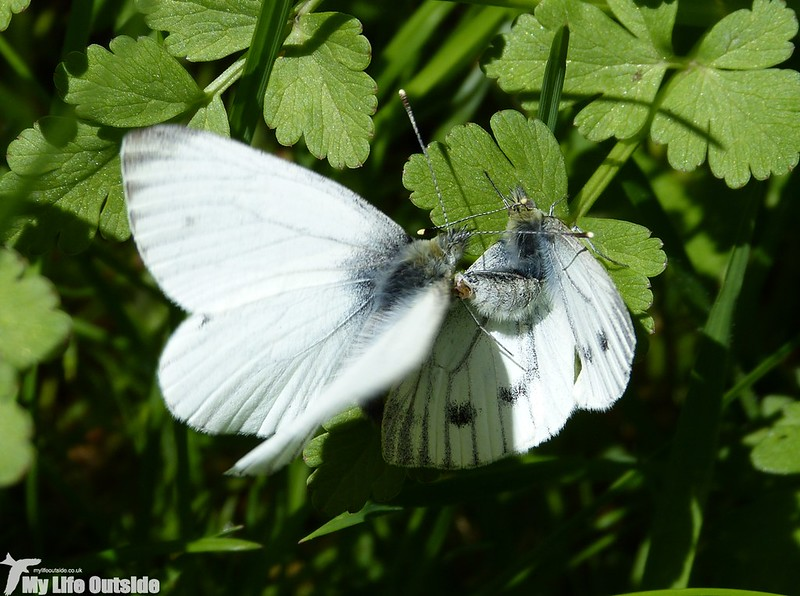 P1120710 - Green-veined White