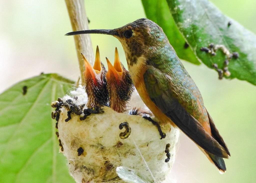 Hummingbird Nest Day 13 Allen S Hummingbird Feeding