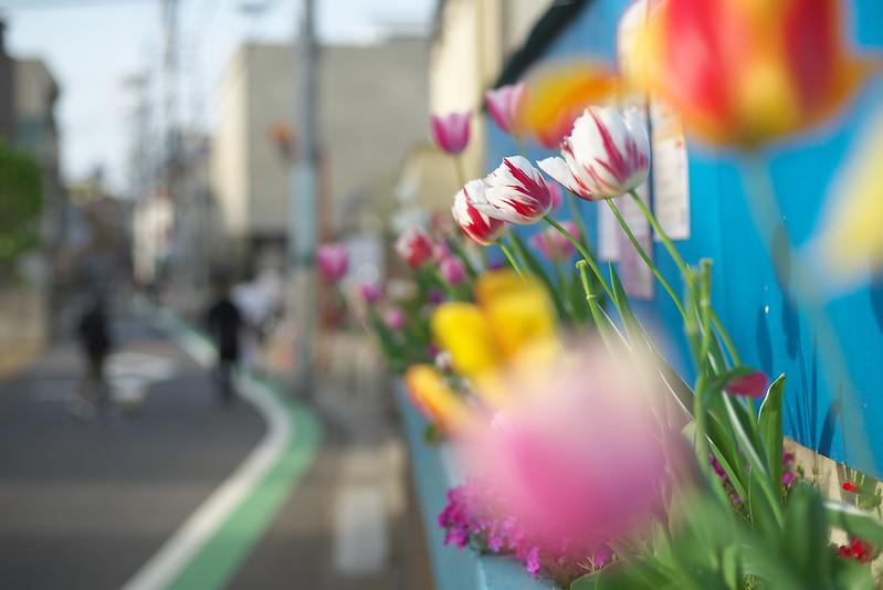 東京路地裏散歩 チューリップが咲く道 2015年4月18日