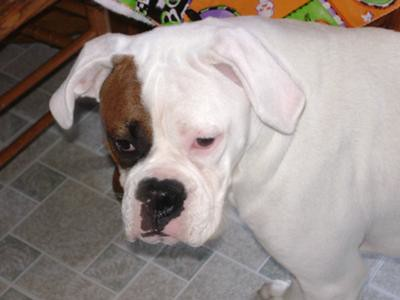 White And Brown Boxer Dogs | via Dog & Cat Pictures ...