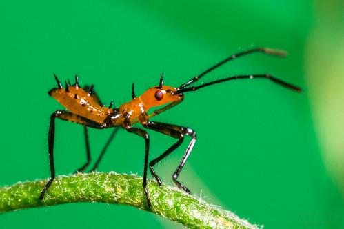 Leaf-Footed Bug Nymph - El-Nikkor 50mm | by jciv